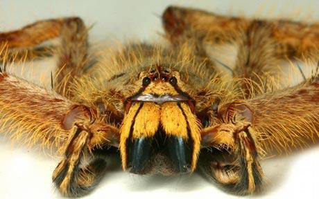 Heteropoda Davidbowie: une espèce d'araignée découverte en Malaisie