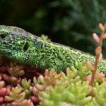 Un lézard vert dans les buissons